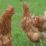Hühnerrettung Frühjahr 2020