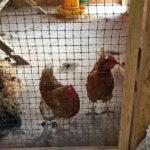 Frieda und Bertha 3 - Hühnerzuwachs